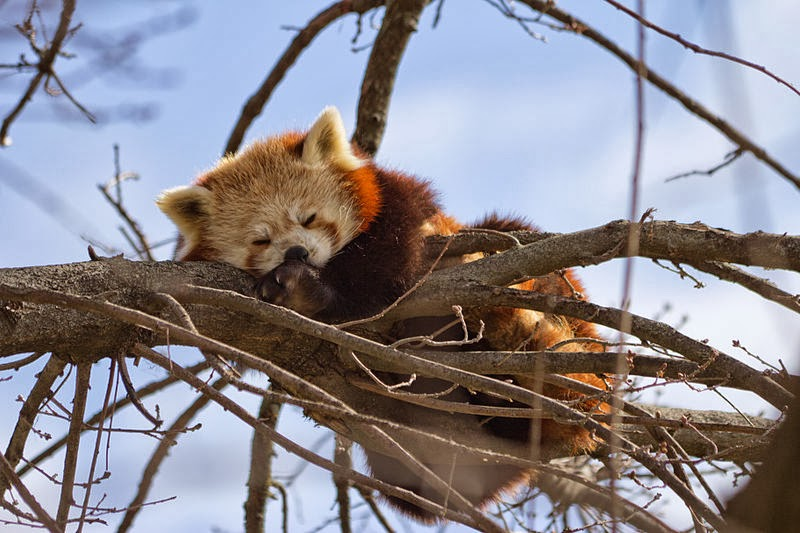 Red panda resting on a tree in Madrid Zoo.