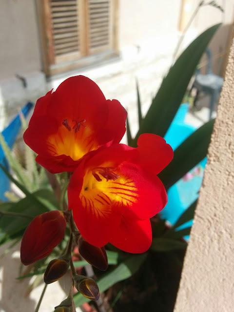 פרזיה בצבע אדום