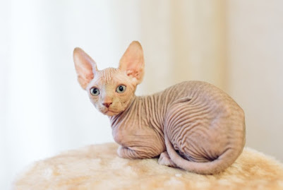 hairless-sphinx-cat_109285-1949.jpg