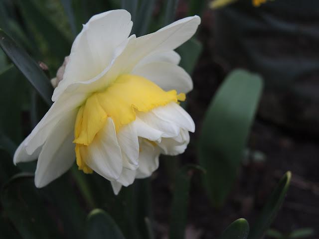 in mijn tuintje - paasbloem