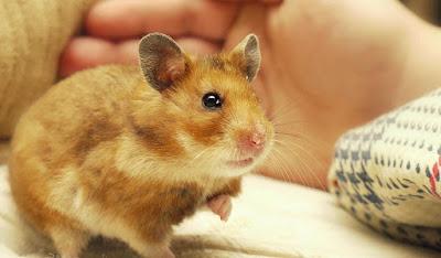 Hamster Hewan Berusia Pendek