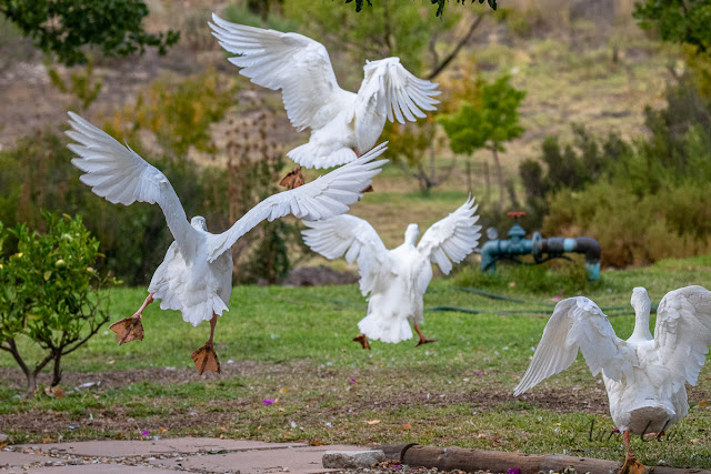 Angelic White Geese in Flight