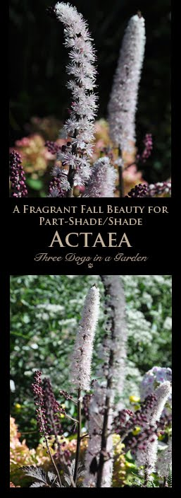 A Fragrant Fall Beauty for Part-Shade/Shade