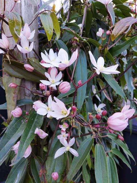Pale pink Clematis armandii flowers
