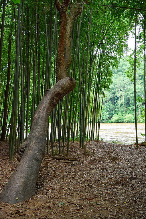A Bamboo Forest on the Chattahoochee - Photo: Travis Swann Taylor