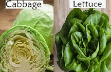 Cabbage vs lettuce which one is healthier