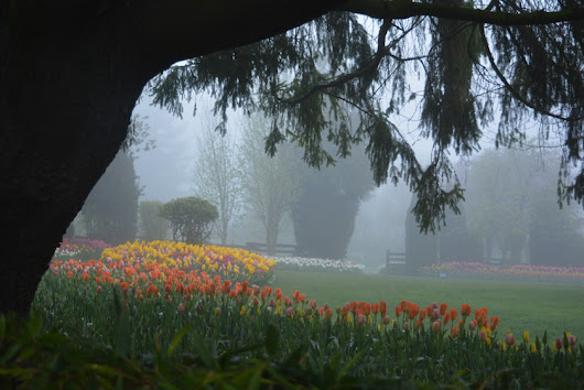 Misty morning in the tulips