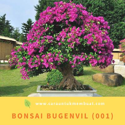 Bonsai Bugenvil (001)