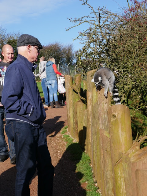 South Lakes Safari Zoo lemur