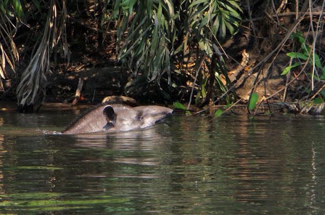 Anta - Tapirus terrestris - Amazonia