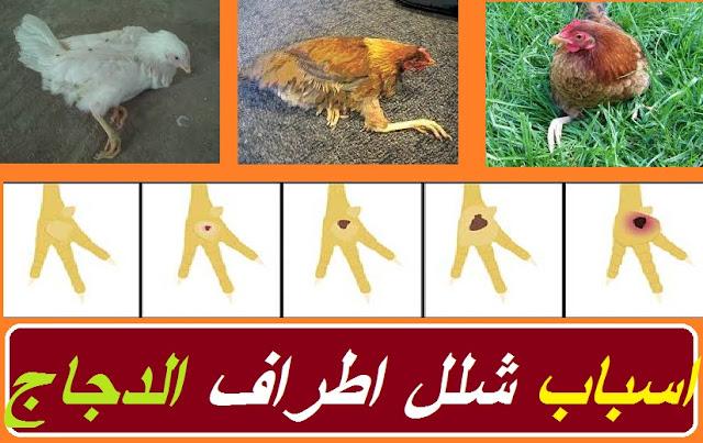 """""""الدجاج لا يستطيع المشي"""" """"الفراخ مش قادرة تقف"""" """"علاج مرض الماريك بالاعشاب"""" """"علاج مرض الماريك عند الدجاج"""" """"أسباب عرج الدجاج"""" """"عدم قدرة الكتكوت على الوقوف"""" """"علاج نقص الكالسيوم عند الدجاج"""" """"مرض يصيب أرجل الدجاج"""""""