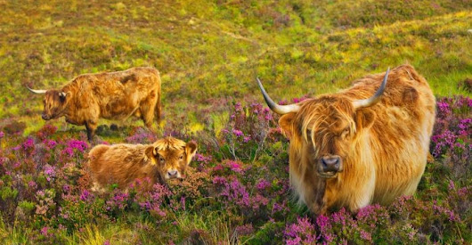 21 funny pictures Scottish Hairy Cows