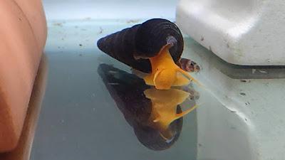 兔螺,澄兔螺,金兔螺
