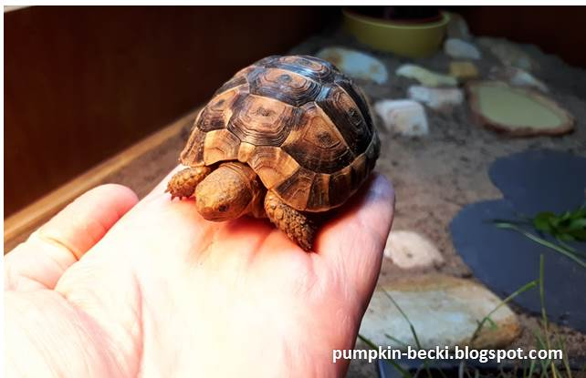 Stompy baby Greek Spur Thigh Tortoise hand