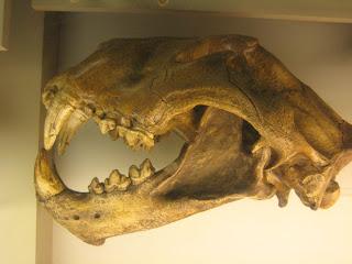 Panthera leo atrox , león cavernario