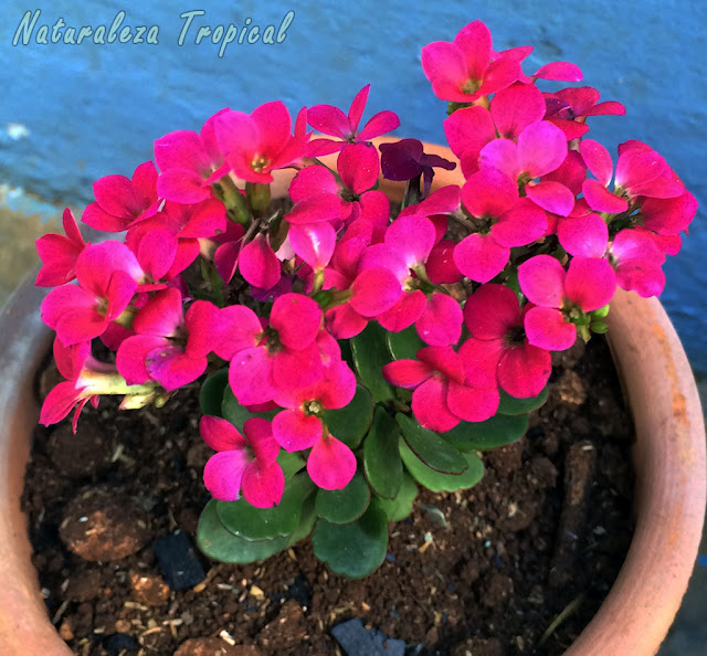 Flores púrpuras simples del Kalanchoe blossfeldiana