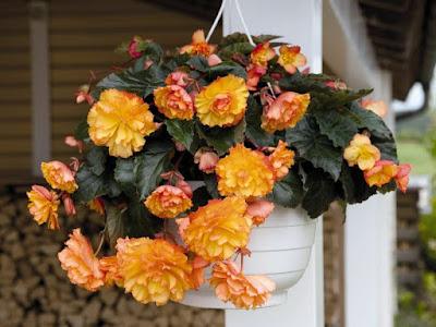 Begonia × tuberhybrida