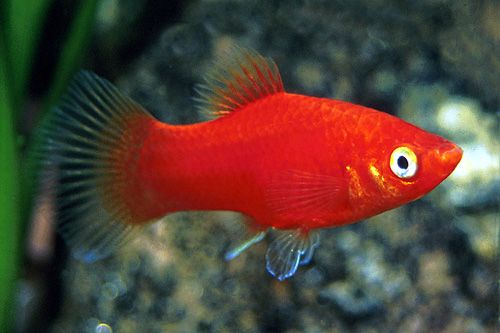 Mickey Mouse Platy Fish Breed Profile - thesprucepets.com