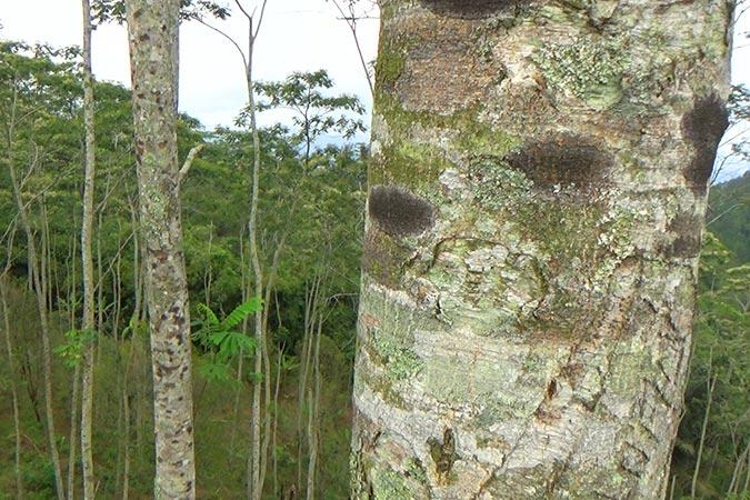 Dlium Molucca albizia (Falcataria moluccana)