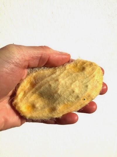 preparer un noyau de mangue pour le faire germer