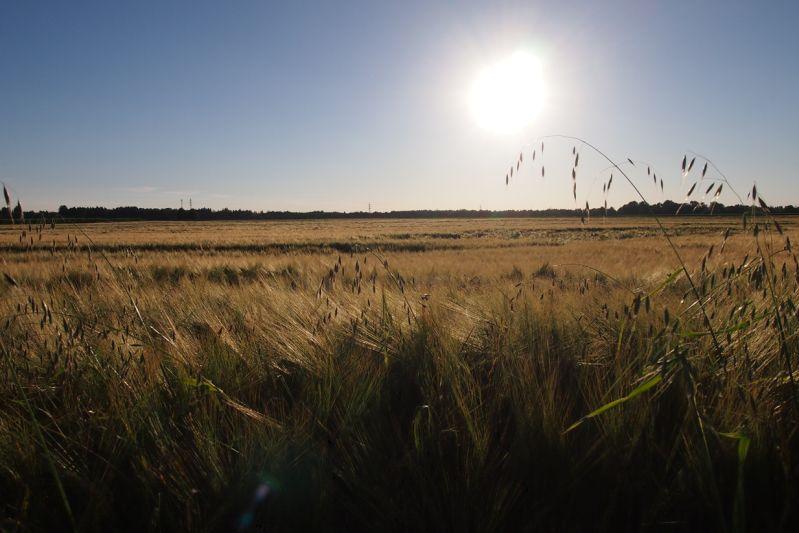 Abendsonne im Juli über einem Getreidefeld