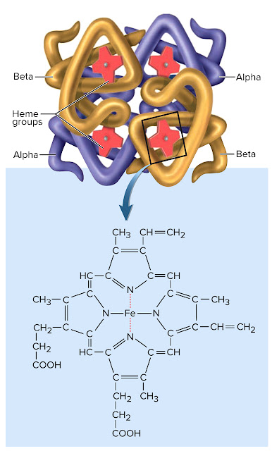 (A) The Structure of Hemoglobin. The hemoglobin molecule consists of two alpha proteins and two beta proteins, each conjugated to a nonprotein heme group.  (B) The Structure of Hemoglobin. Structure of the heme group. Oxygen binds to iron (Fe) at the center of the heme.