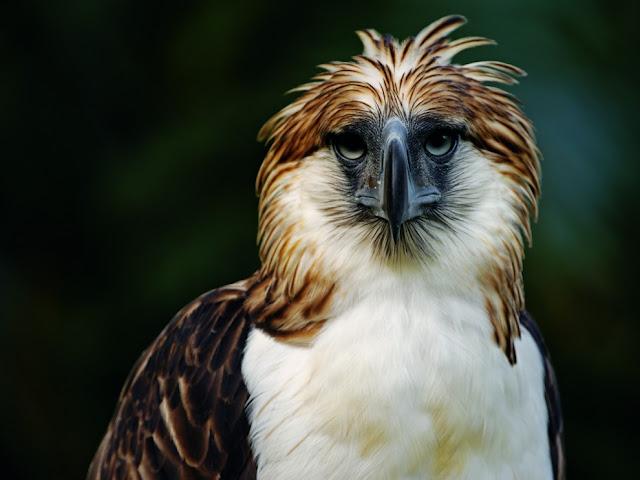 النسر الفلبيني ، واحد من أندر الطيور في العالم .