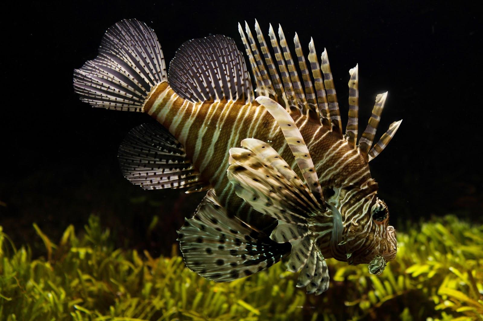 fish-fishtank-lionfish-animal-pictures