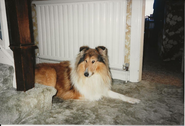 Rough Collie lying on carpet