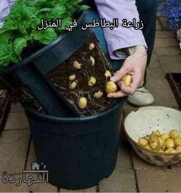 مدة زراعة البطاطس ومعلومات يجب إتباعها عند زراعة البطاطس في المنزل