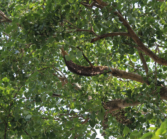 How Are The Branches Of Peepal Tree Useful in Hindi?