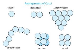 Bakteri Kokus merupakan basil yang bentuknya lingkaran sedikit oval Ciri-Ciri, Jenis/Macam Bentuk Bakteri Kokus