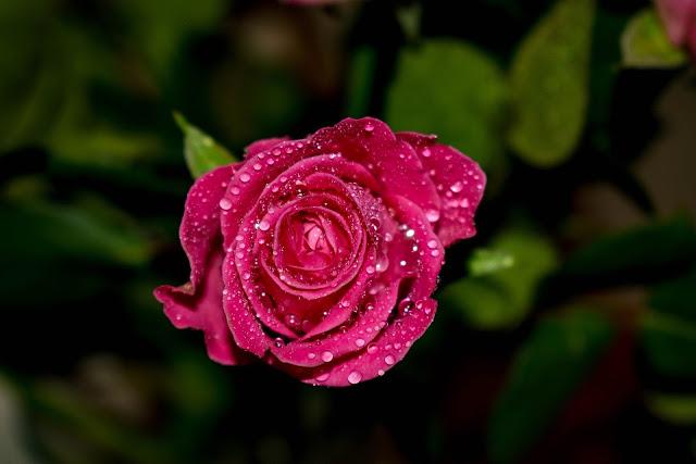 gambar bunga mawar cantik dan indah