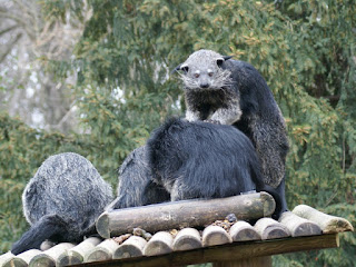 Binturong - Benturong - Chat-ours - Arctictis binturong