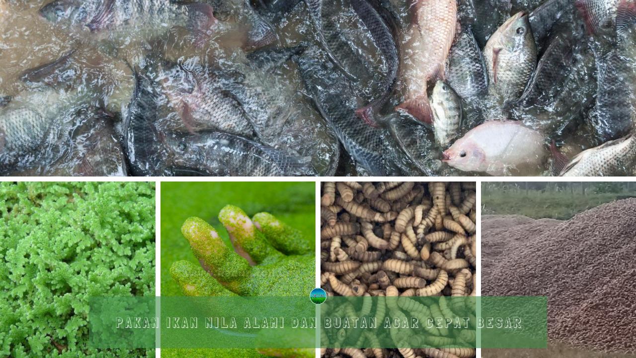 Pakan Ikan Nila Alami dan Buatan Agar Cepat Besar