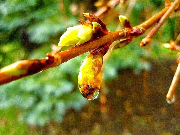mon arbre le de vivre le douaire tout savoir sur le forsythia x intermedia mimosa de. Black Bedroom Furniture Sets. Home Design Ideas