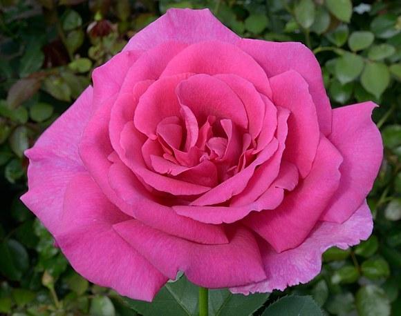 Parole сорт розы Кордес фото
