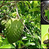 Fight Cancer, Arthritis, Kidney Problems And More With Guyabano Leaves