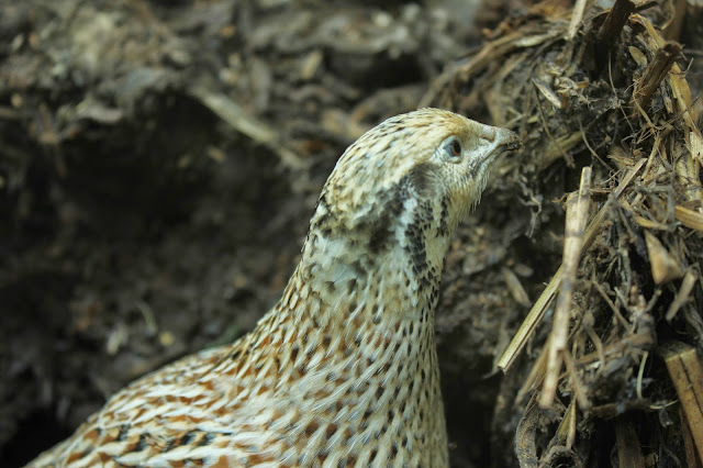 Organic Golden Quail feeding from a compost bin