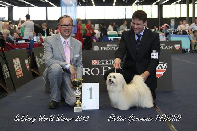 Havaneser Weltsieger - Hündin Eletizia Giovenezza PEDORO - World Winner