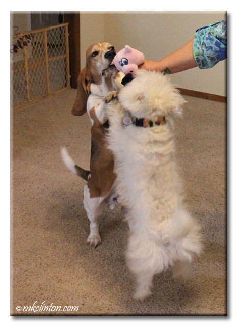 Bentley Basset and Pierre Westie love playing with their Hear Doggy!