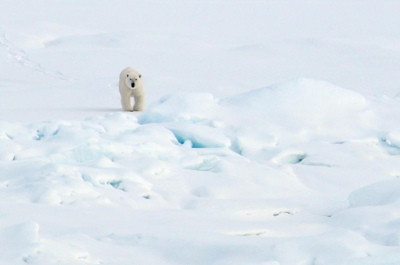 北極の氷の上を歩く北極熊