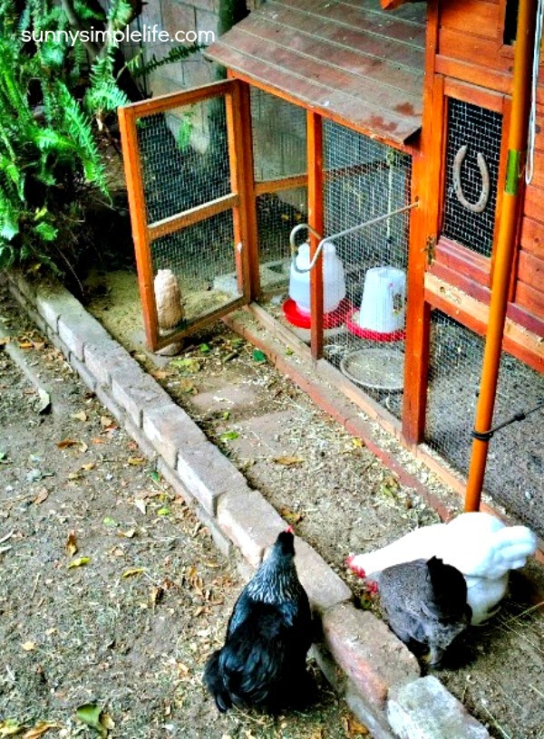 simple chicken coop plans, chickens scratching