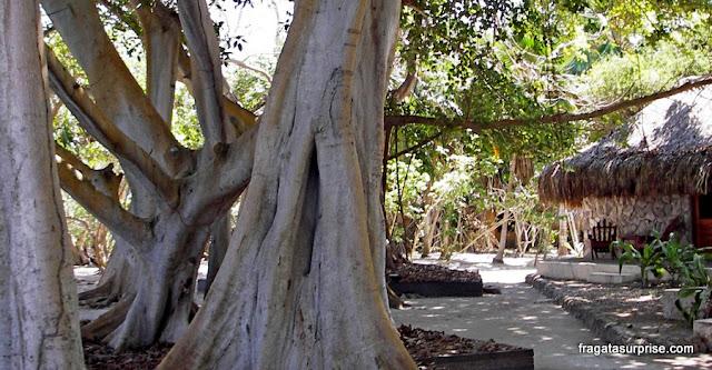Árvore de majágua, Ilhas do Rosário, Colômbia