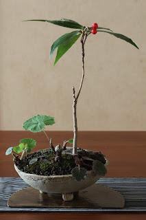カラタチバナとフキノトウとユキノシタの山野草盆栽
