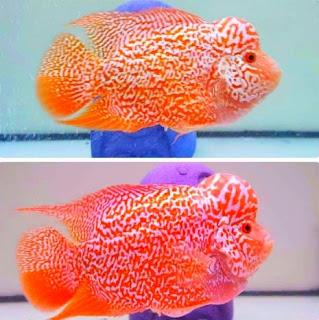Cara membedakan ikan louhan jantan dan betina