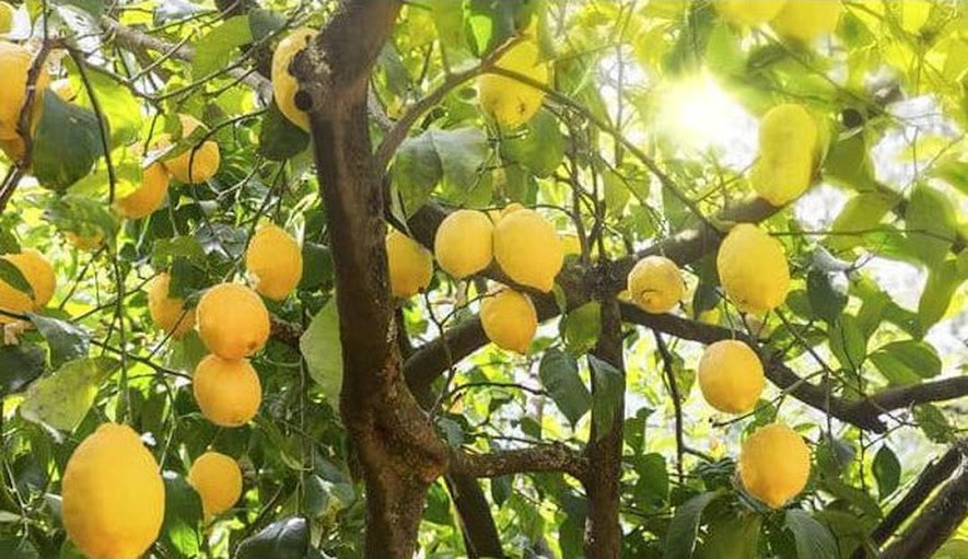Craf Bibit Tanaman Buah Jeruk Lemon Australia Len Jakarta