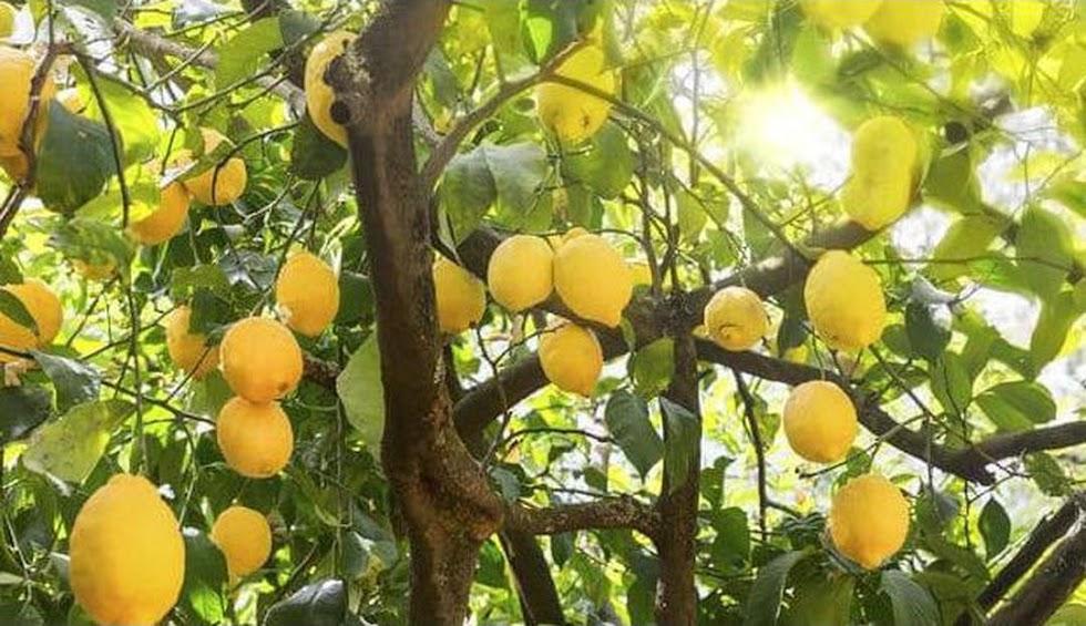 Craf Bibit Tanaman Buah Jeruk Lemon Australia Len Banten
