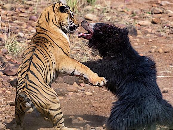 Επική μονομαχία τίγρης με αρκούδα στην ενδοχώρα της Ινδίας (εικόνες, βίντεο)