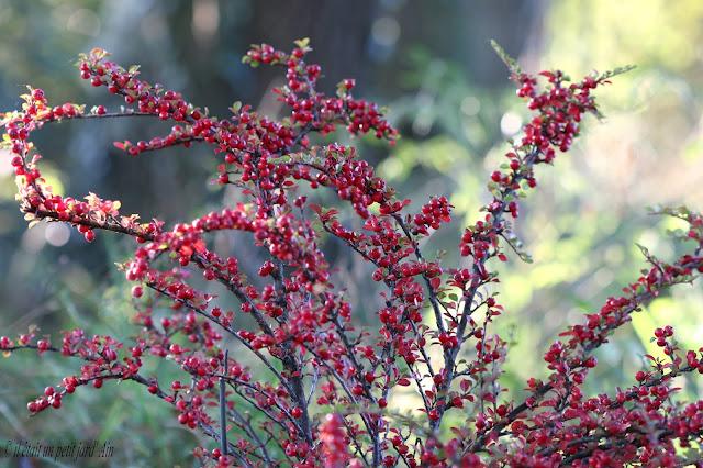 cotoneastere horizontalis baies rouges automne hiver 2016